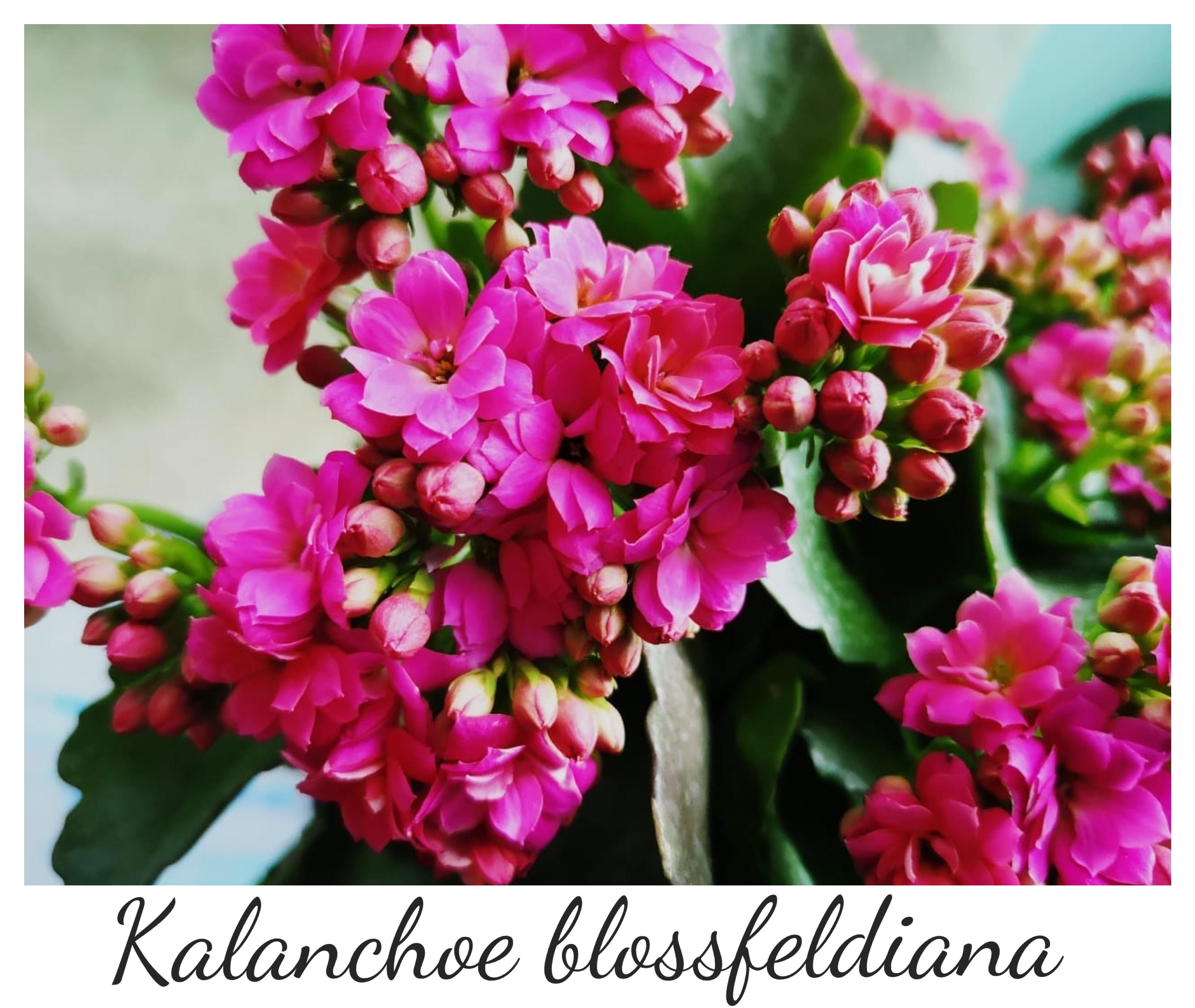 """Resultado de imagen de los """"kalanchoes"""" (pronunciar """"kalanchoe"""""""